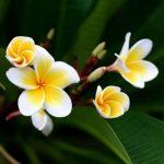 Hoa Chăm Pa, biểu tượng đẹp của nước Lào