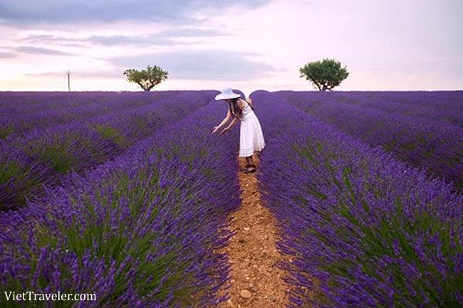 Provence: Thiên đường hoa oải hương tại Pháp